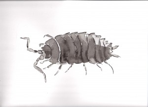 pill-woodlouse